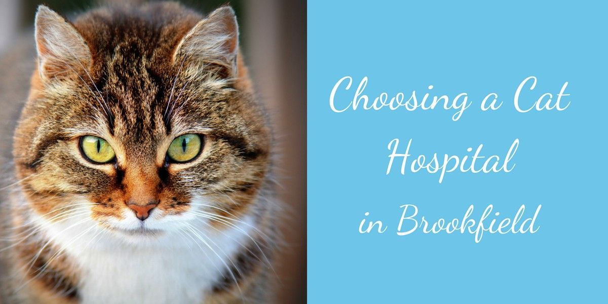 Choosing-a-Cat-Hospital-in-Brookfield