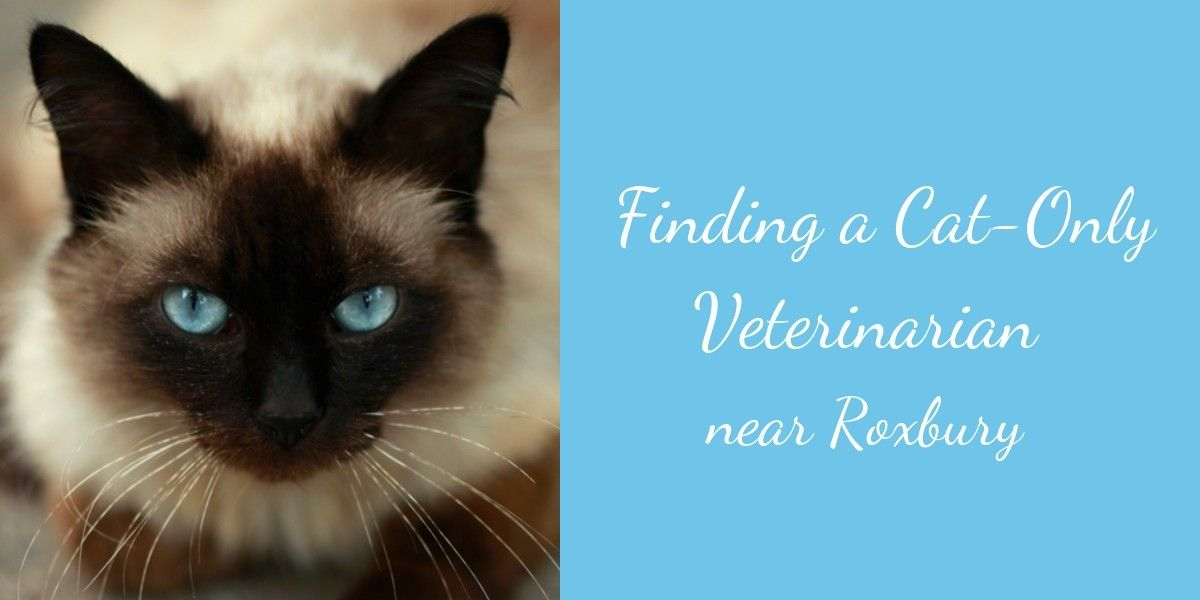 Finding-a-Cat-Only-Veterinarian-Near-Roxbury